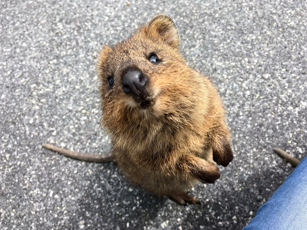 quokka-rottnest-island-photo-essay