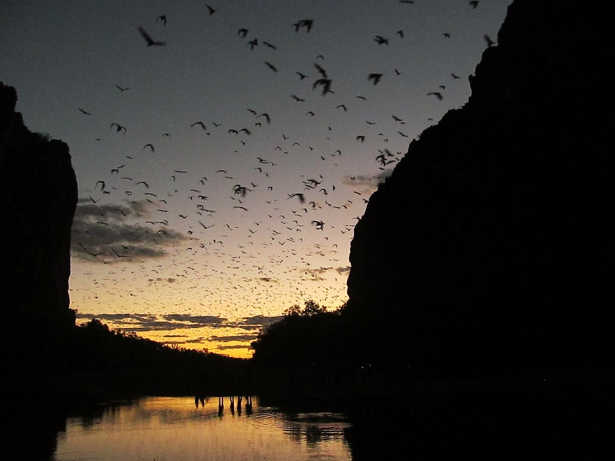 windjana-gorge-kimberley-fruit-bats