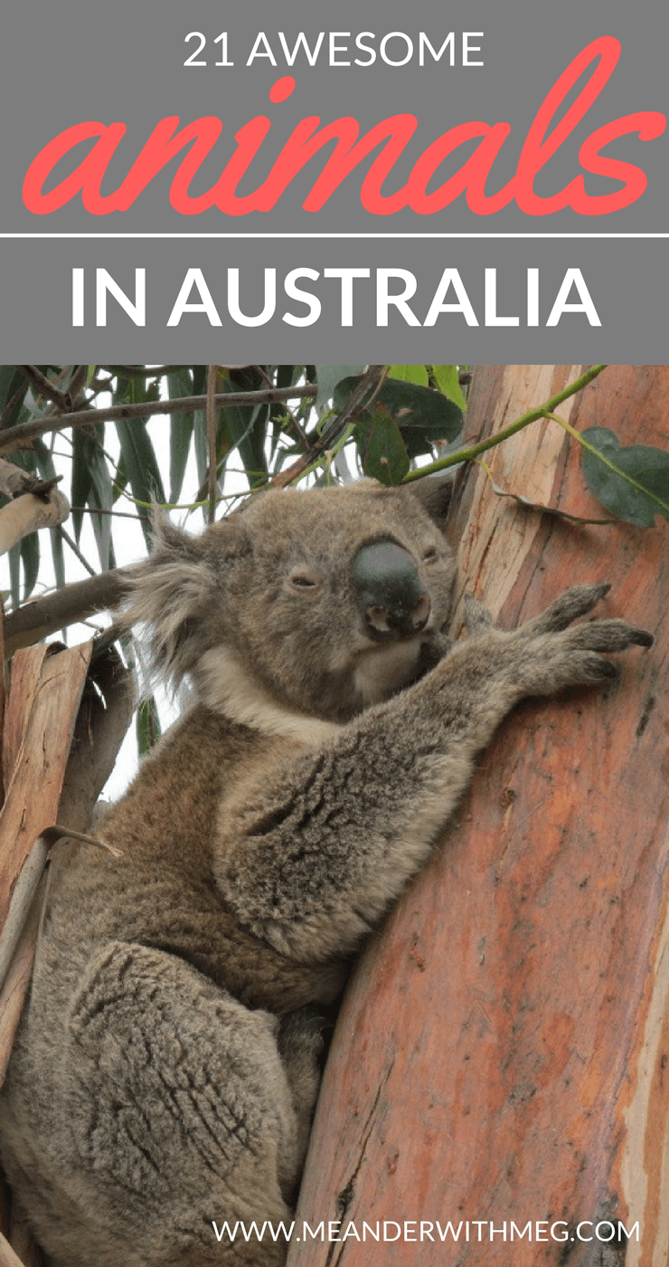 The animals in Australia are notorious for being scary and out to kill you. I'd like to introduce you to some Australian wildlife that proves animals can be the highlight of your trip Down Under.