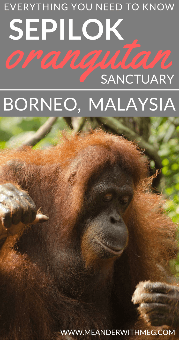 If you are planning to see orangutan in Borneo the best place to see them in Sepilok Orangutan Sanctuary. Borneo, Malaysia has plenty of opportunity to spot wild orangutan.